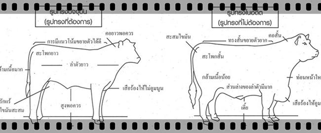ลักษณะรูปร่างวัวพื้นเมือง